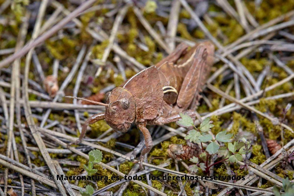 Saltamontes género Eumigus color arcilla camuflado en el medio natural