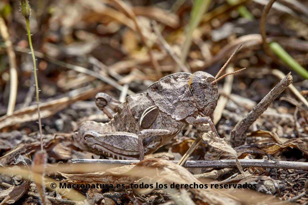 Saltamontes género Eumigus color gris camuflado en el entorno natural