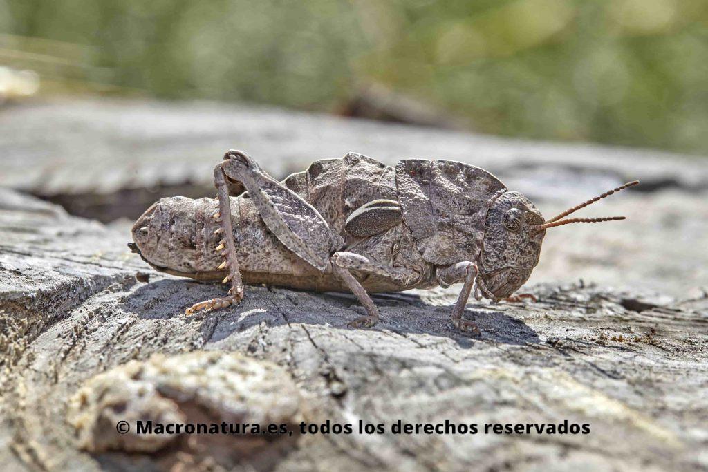 Saltamontes género Eumigus color gris