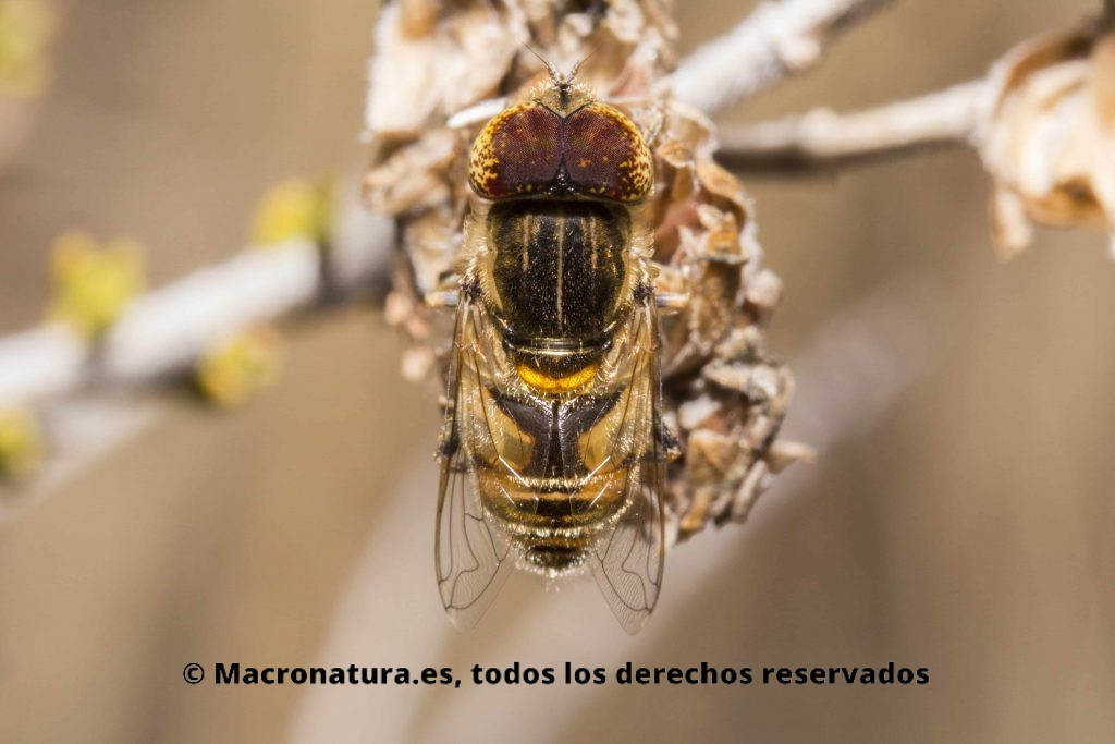 Mosca Eristalinus Megacephalus sobre un matorral. Moscas de las flores Eristalinus