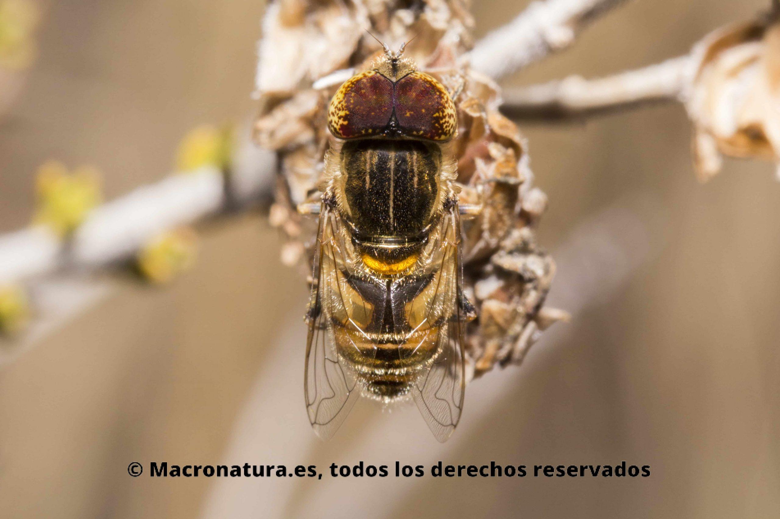 Mosca Eristalinus Megacephalus sobre un matorral