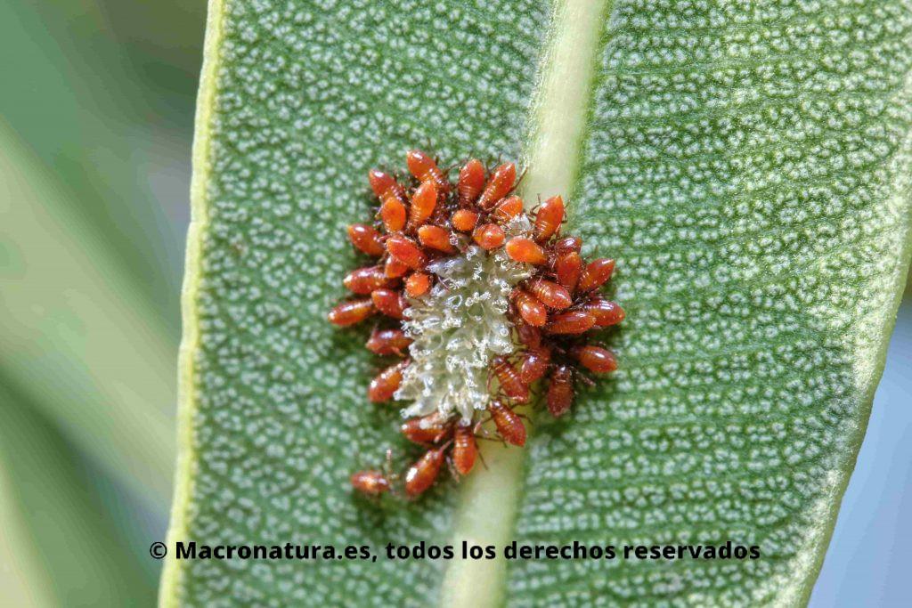 Chinche de las adelfas Caenocoris nerii. Un grupo recien nacidos junto a los restos de huevos.
