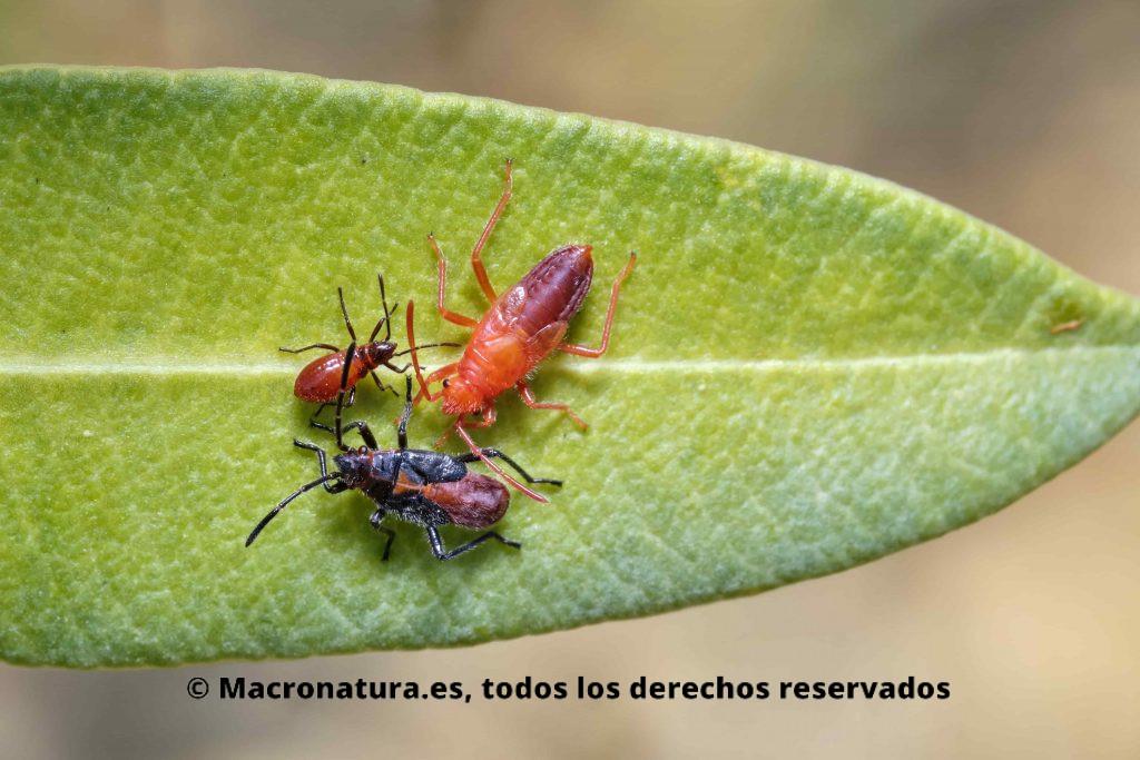 Chinche de las adelfas Caenocoris nerii. Tres estadios ninfales diferentes sobre una hoja de adelfa