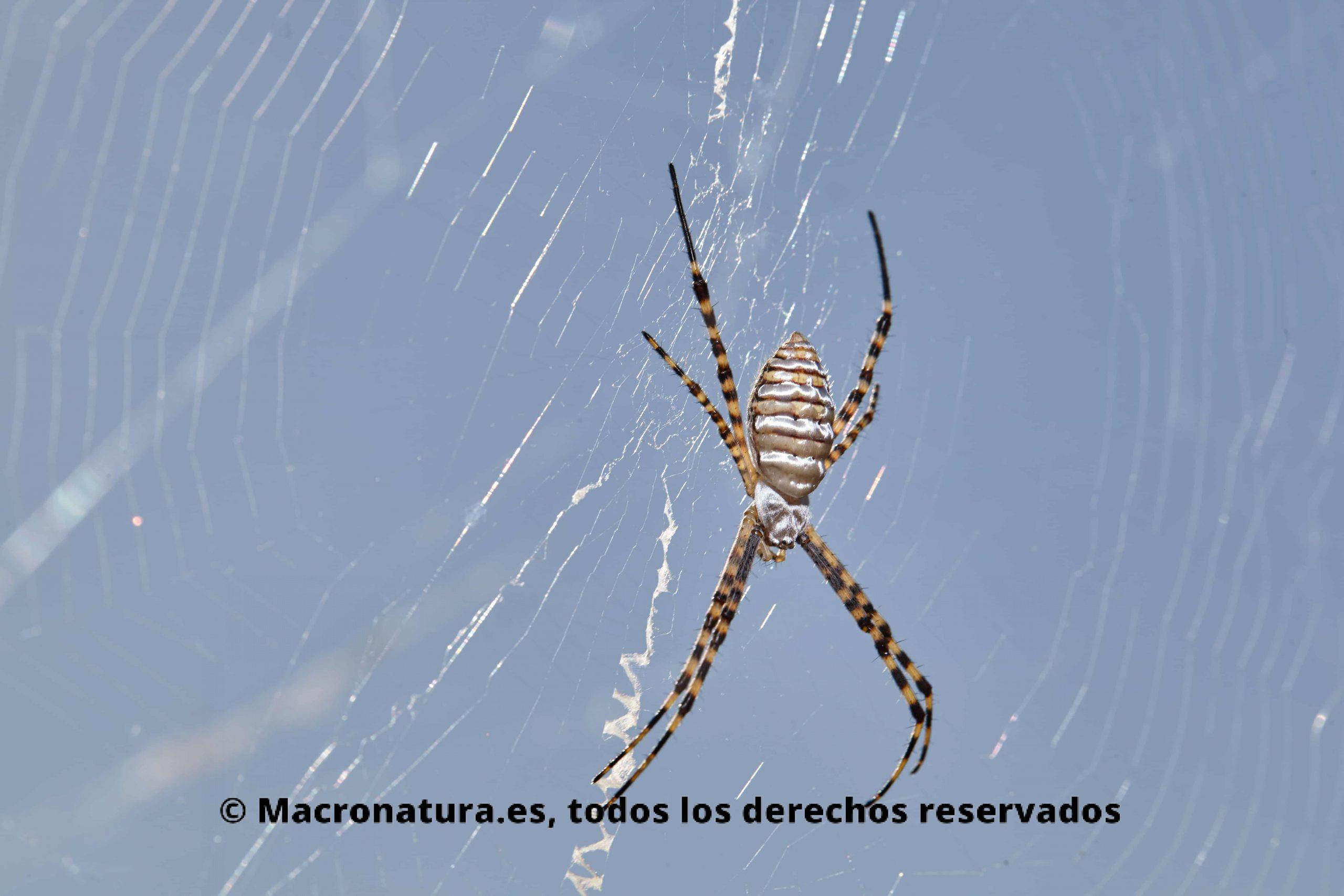 Araña Argiope Trifasciata. Araña de jardín bandeada en su tela de araña