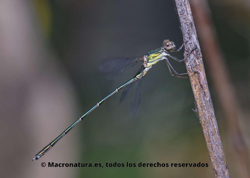 Lestes Viridis sobre una rama lateral. Caballito del diablo verde metálico.