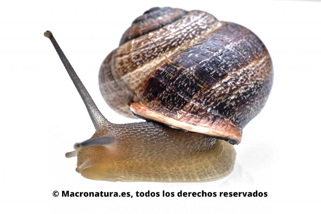 Caracol Otala Punctata. Se observa la concha y parte de su cuerpo, ojos y apéndices retráctiles.