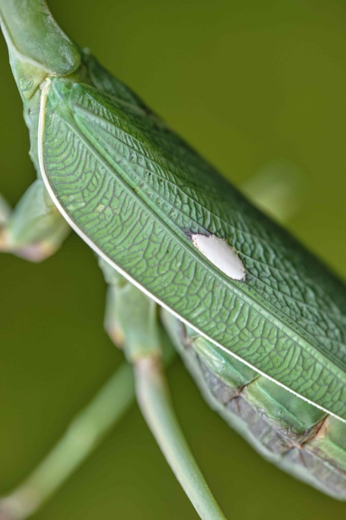 Mancha blanca típica de una Sphodromantis viridis