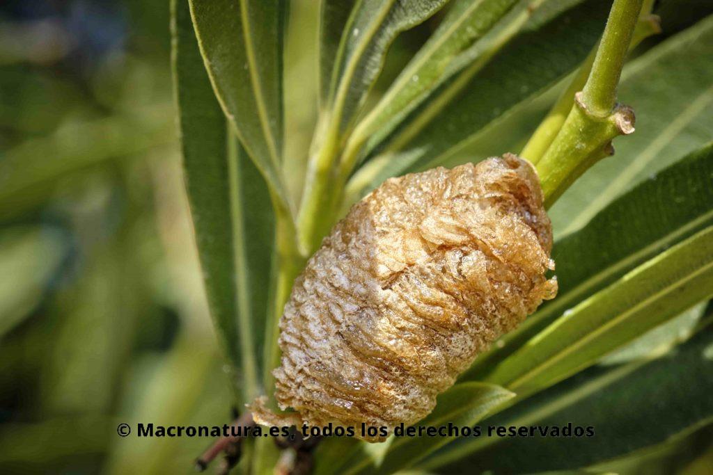 Ooteca de Sphodromantis viridis sobre planta de adelfa