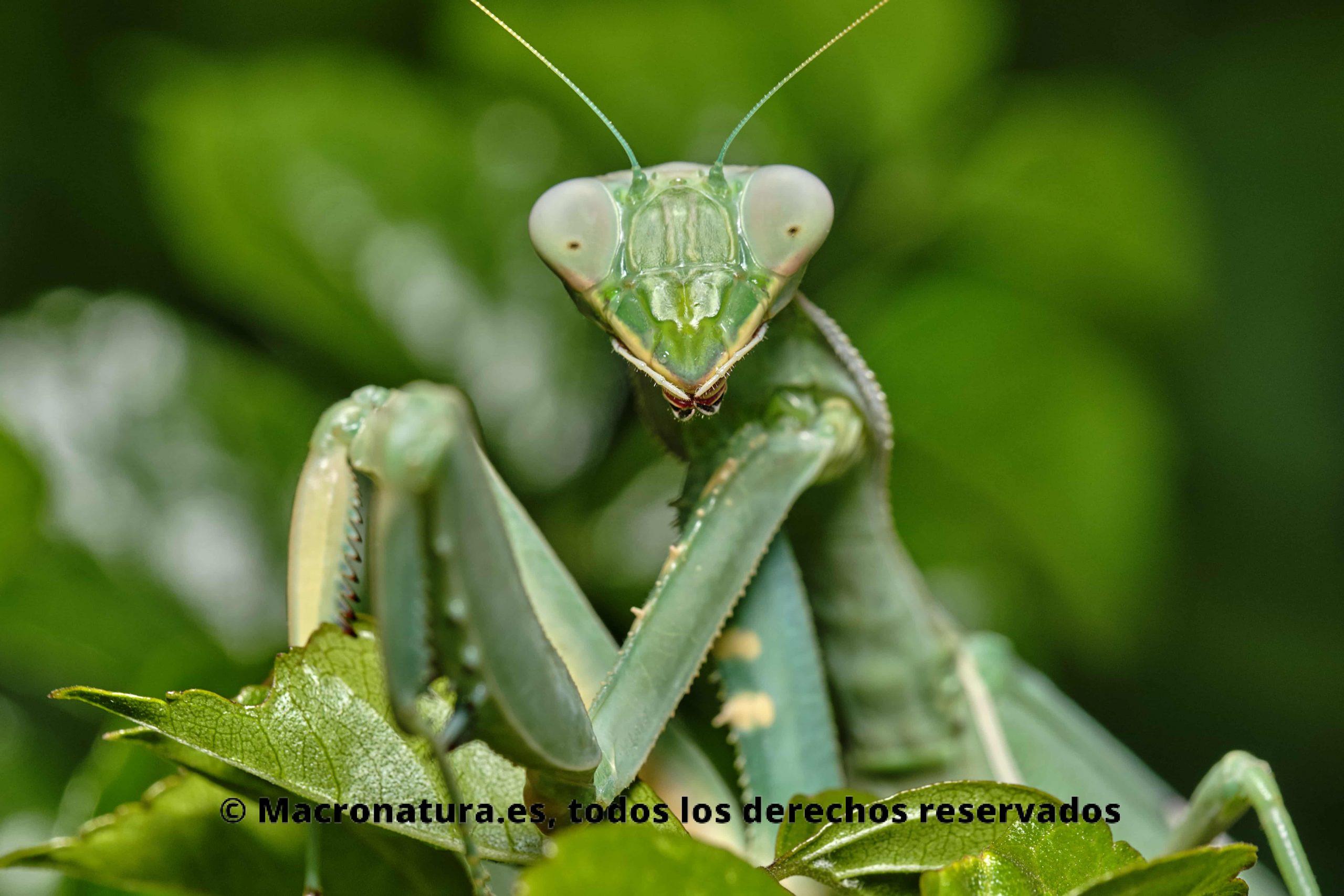 Sphodromantis viridis primer plano. Mirando a la cámara