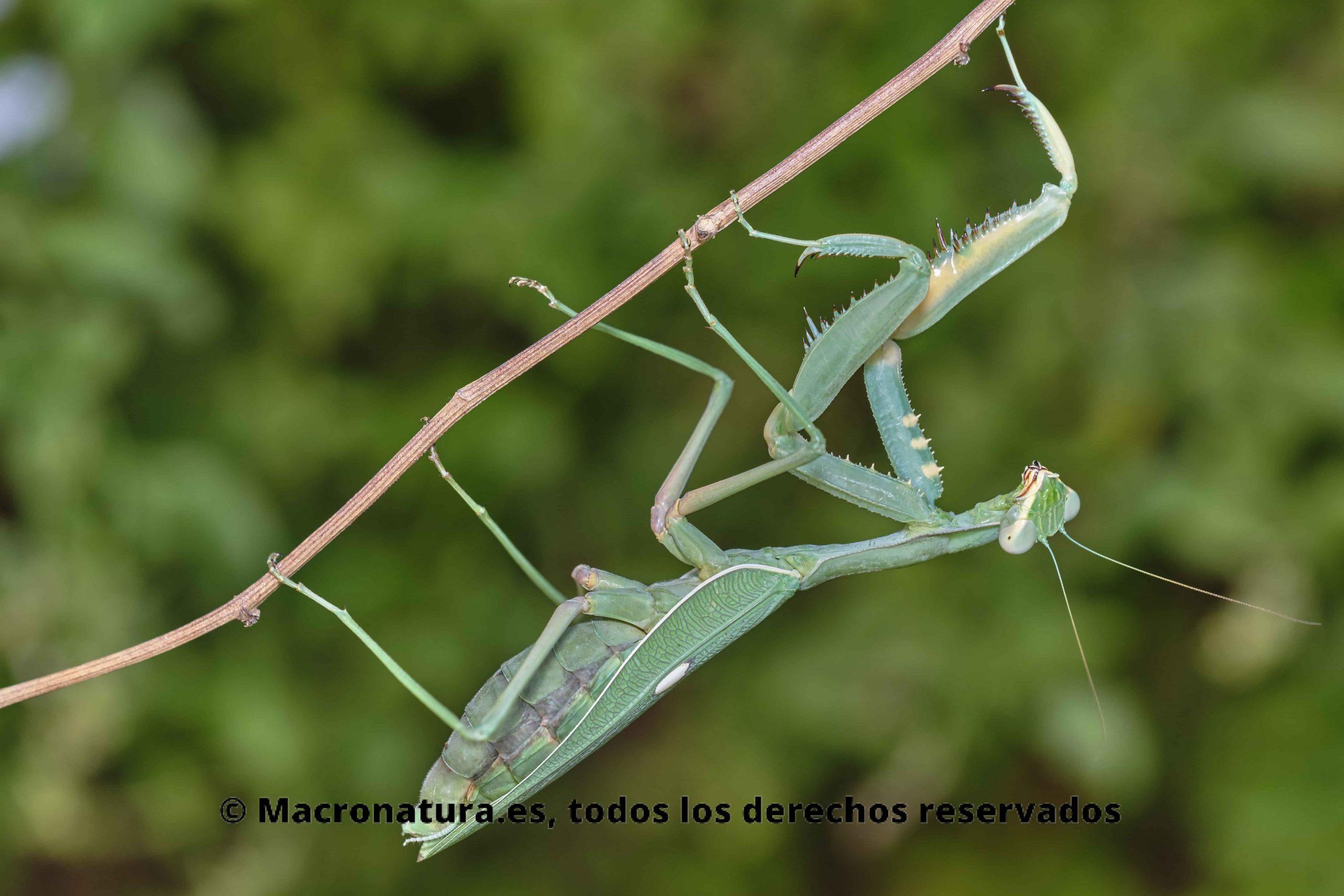 Sphodromantis viridis sobre una rama de una planta en un fondo verde