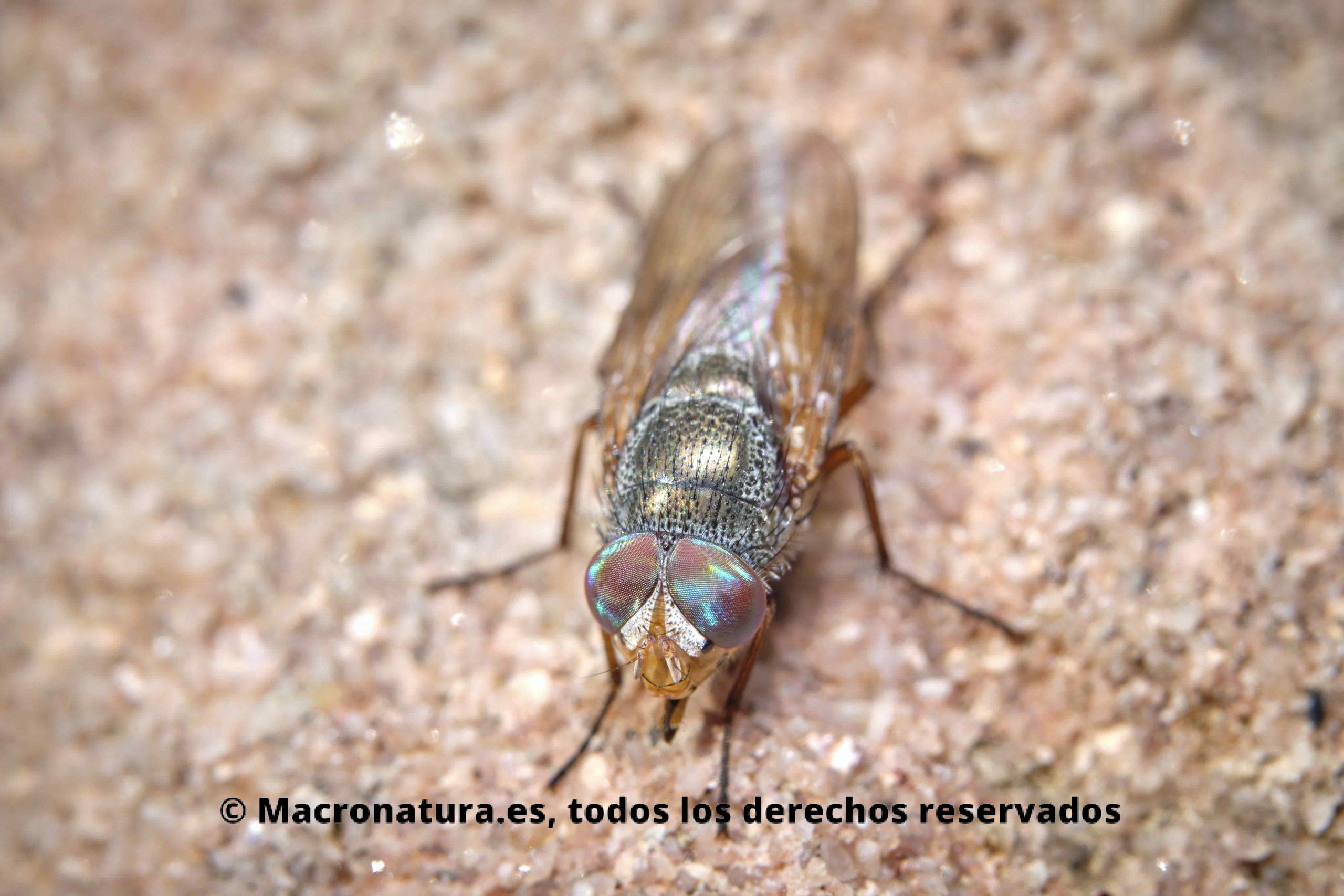 rhyncomyia columbina vista desde arriba.
