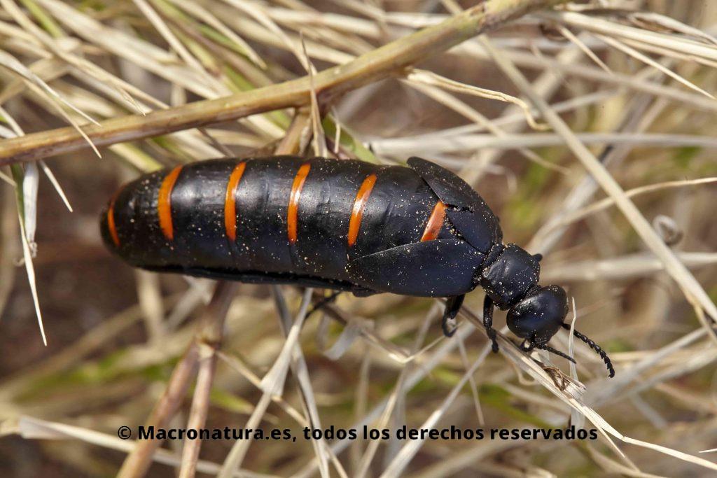 Aceitera Común Berberomeloe Majalis sobre la maleza. Color negro con franjas naranjas. Abdomen muy largo.