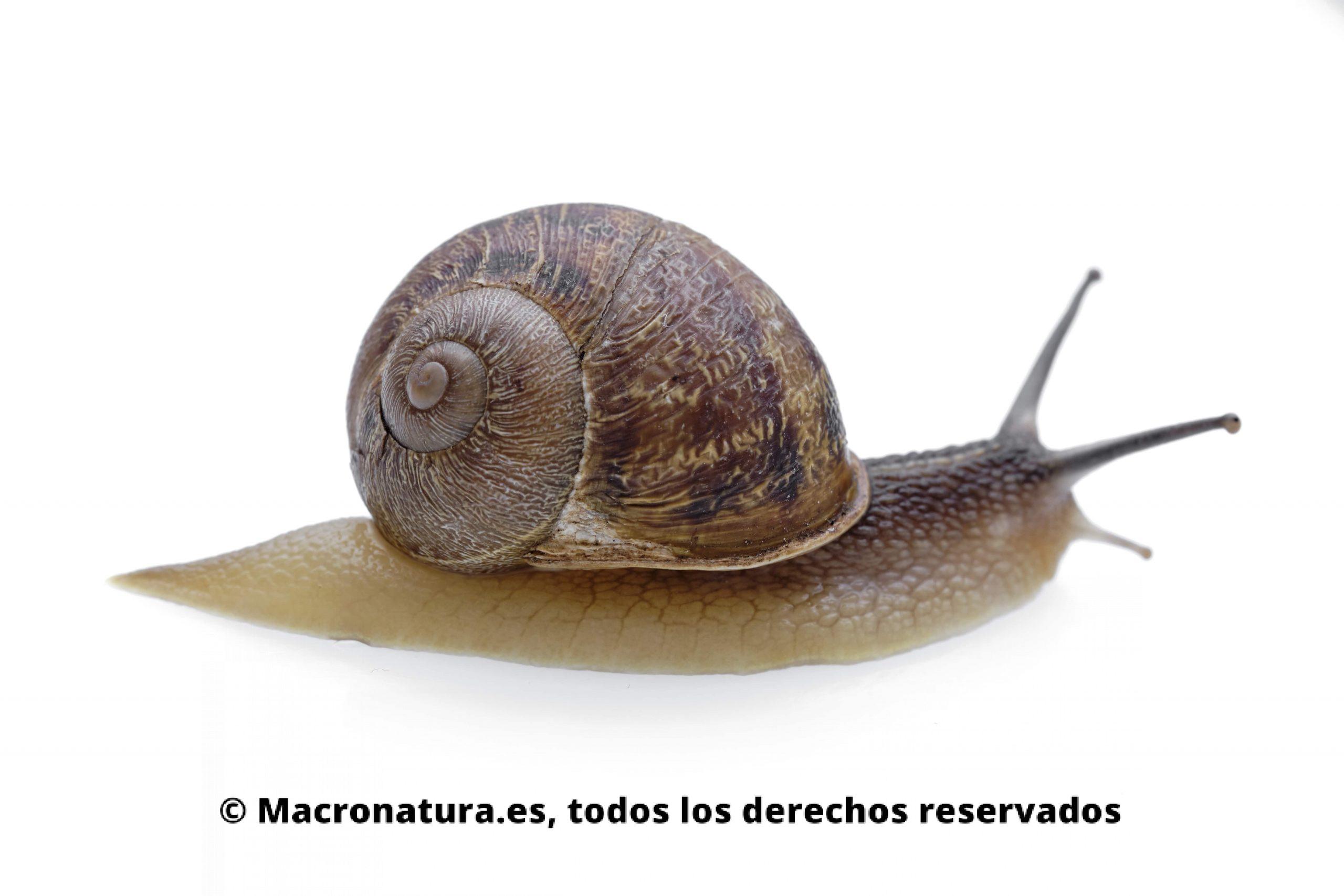 Caracol Helix Aspersa en un fondo blanco. Se aprecia cuerpo y concha.