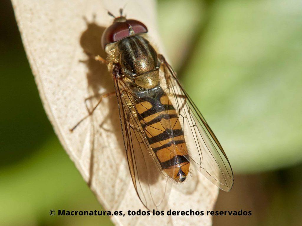 Mosca Episyrphus balteatus macho. Detalle de abdomen naranja y negro. Mimetismo batesiano.