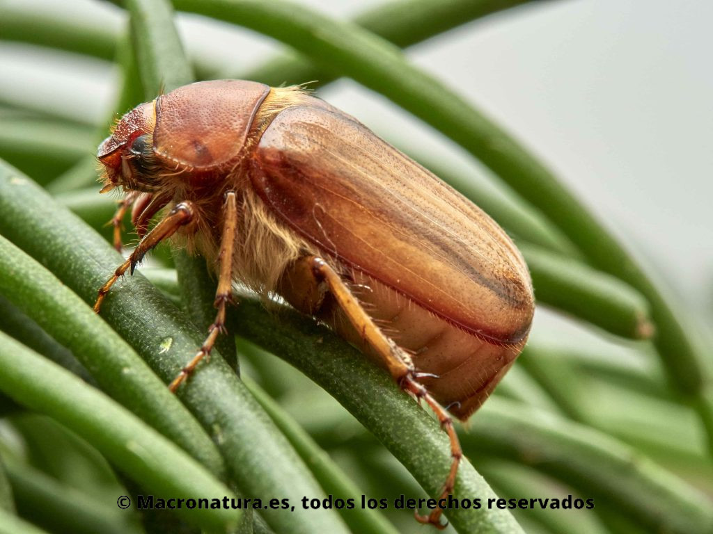 Escarabajo Amphimallon solstitialis. Vista lateral