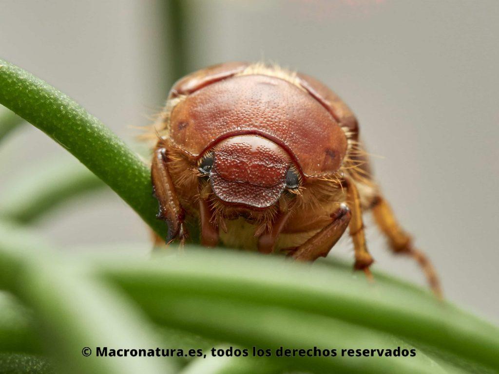 Escarabajo Amphimallon solstitialis. detalle de cabeza y ojos