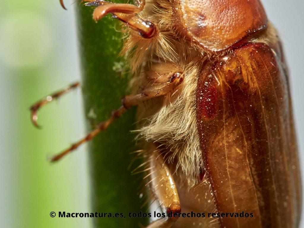 Escarabajo Amphimallon solstitialis. Detalle de pelosidadades, vellosidades.