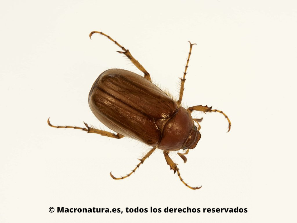 Escarabajo Amphimallon solstitialis. Vista cenital en fondo blanco