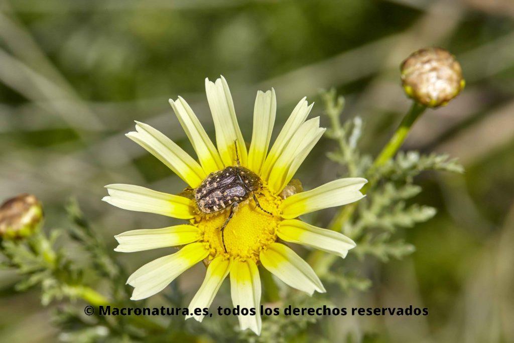 Escarabajos de las flores Tropinota sobre una margarita