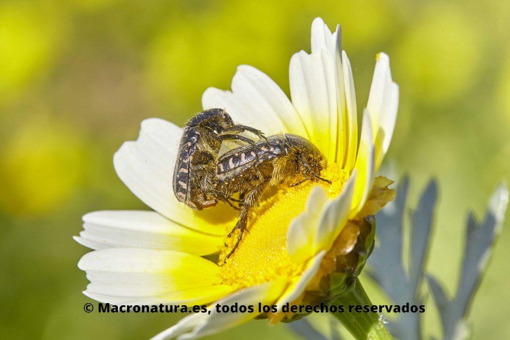 Escarabajos de las flores Tropinota sobre una margarita apareandose