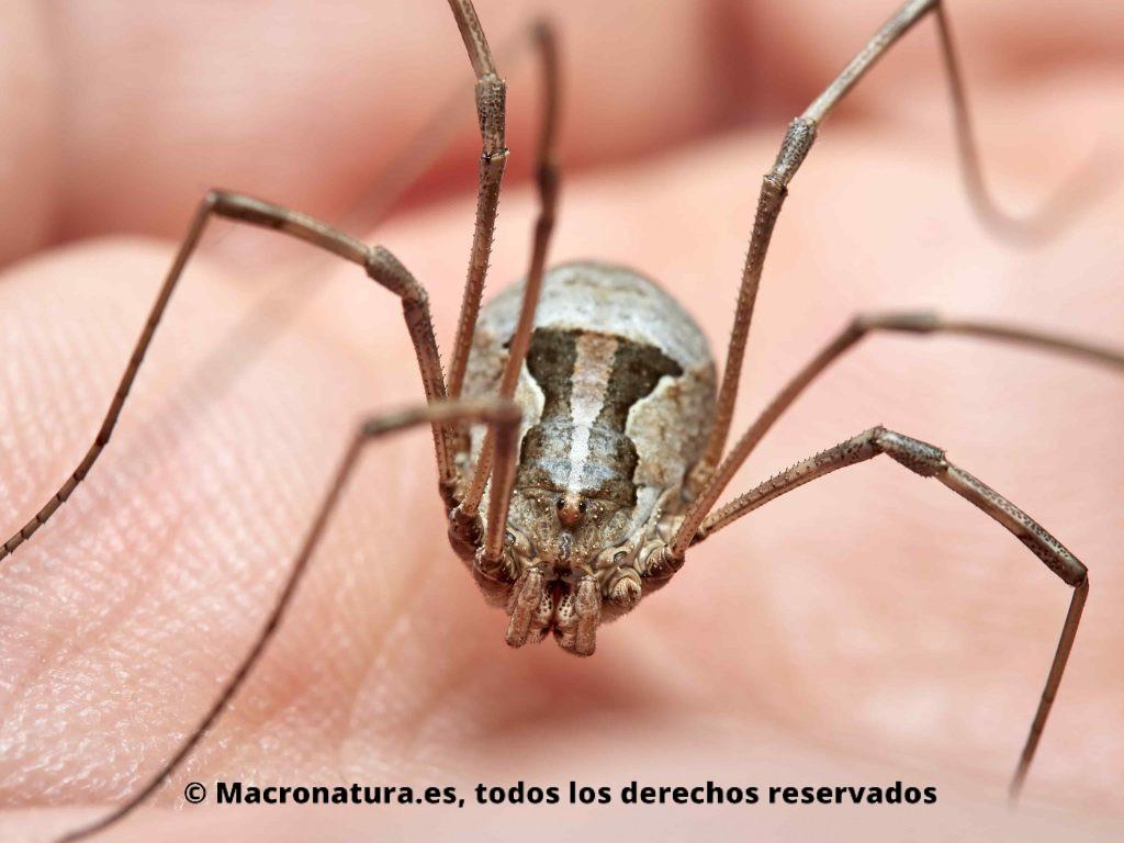 Arañas Patonas Opiliones. Opilion Metaphalangium cirtanum sobre una mano.