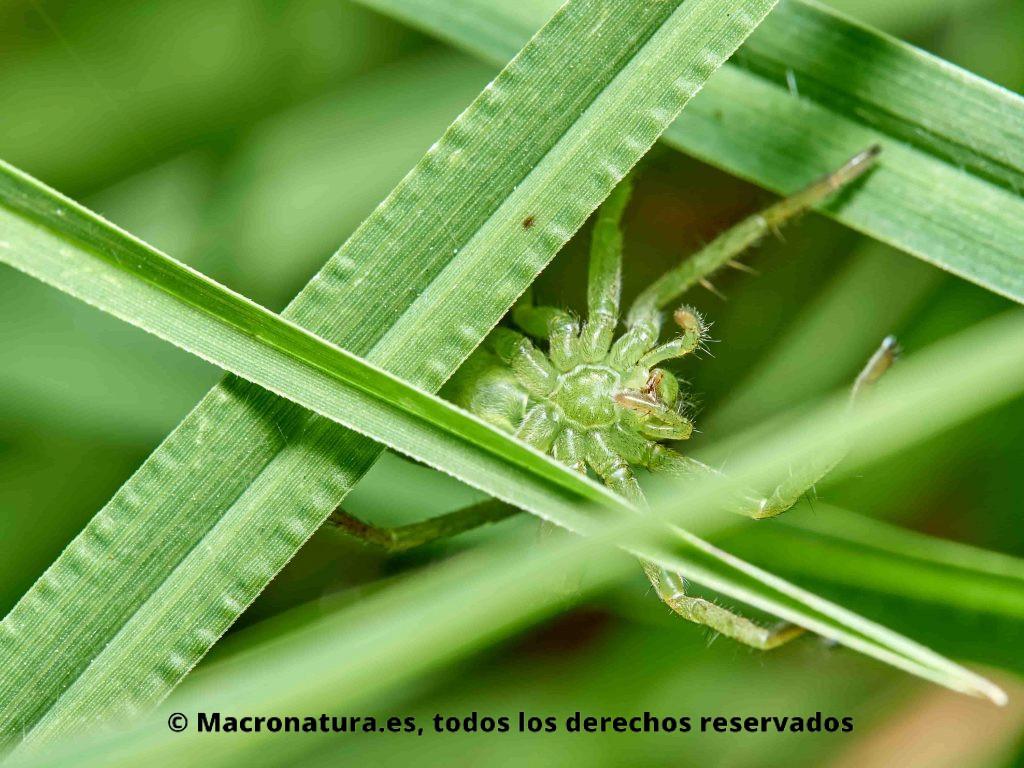 Araña Micrommata virescens. Vista ventral