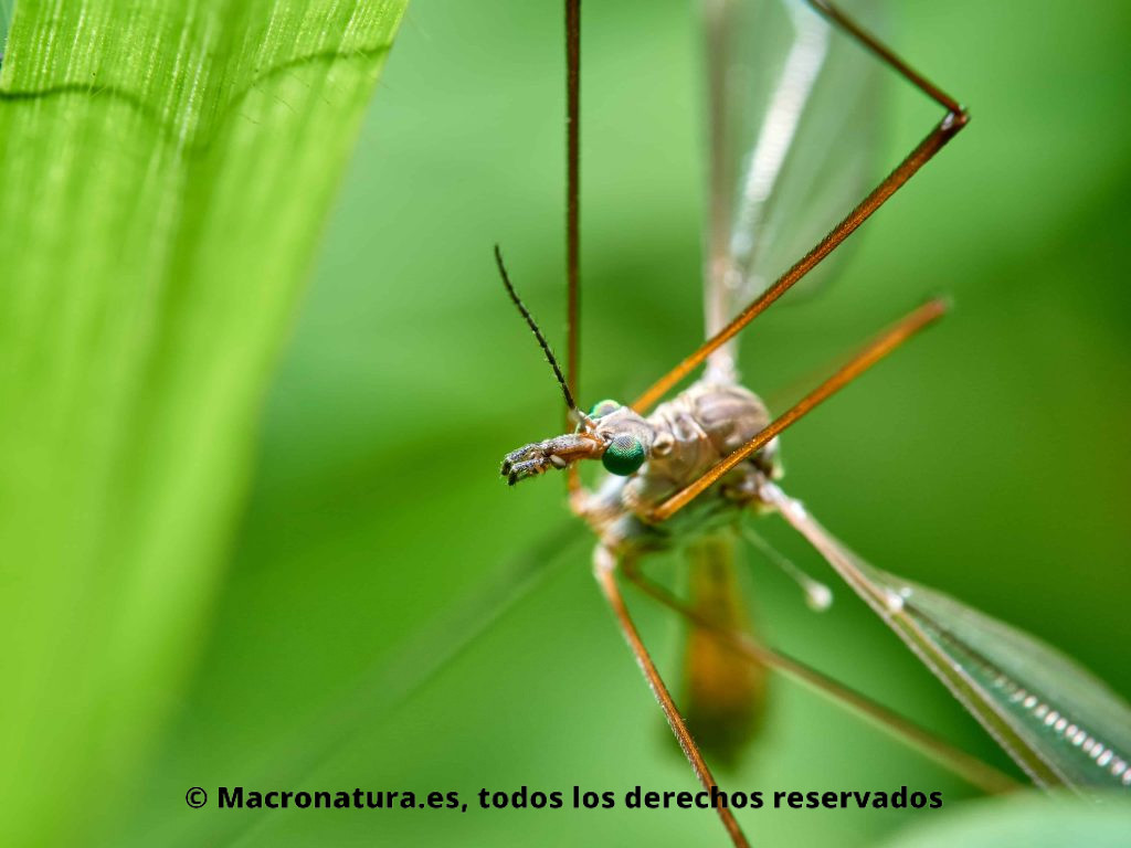 Detalle de cabeza y ojo de Mosquito gigante Típula