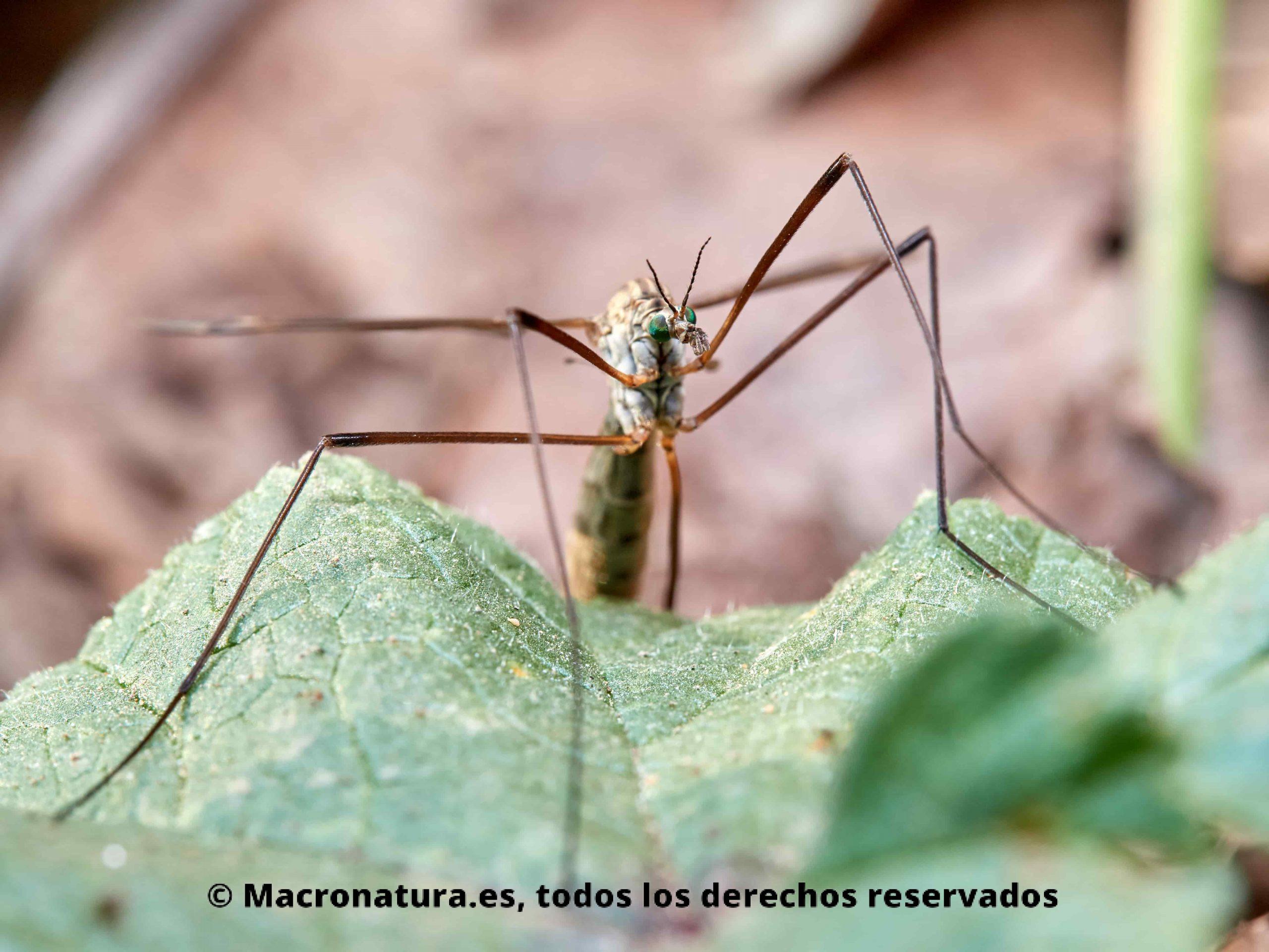 Mosquito gigante Típula vista frontal