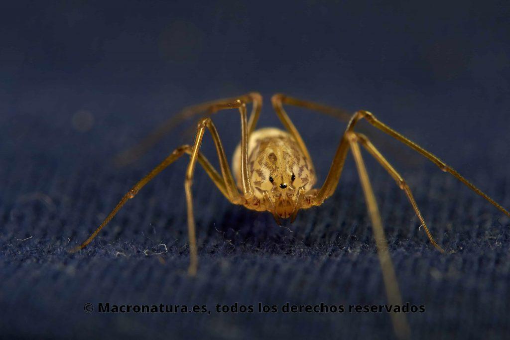 Araña escupidora Scytodes thoracica primer plano