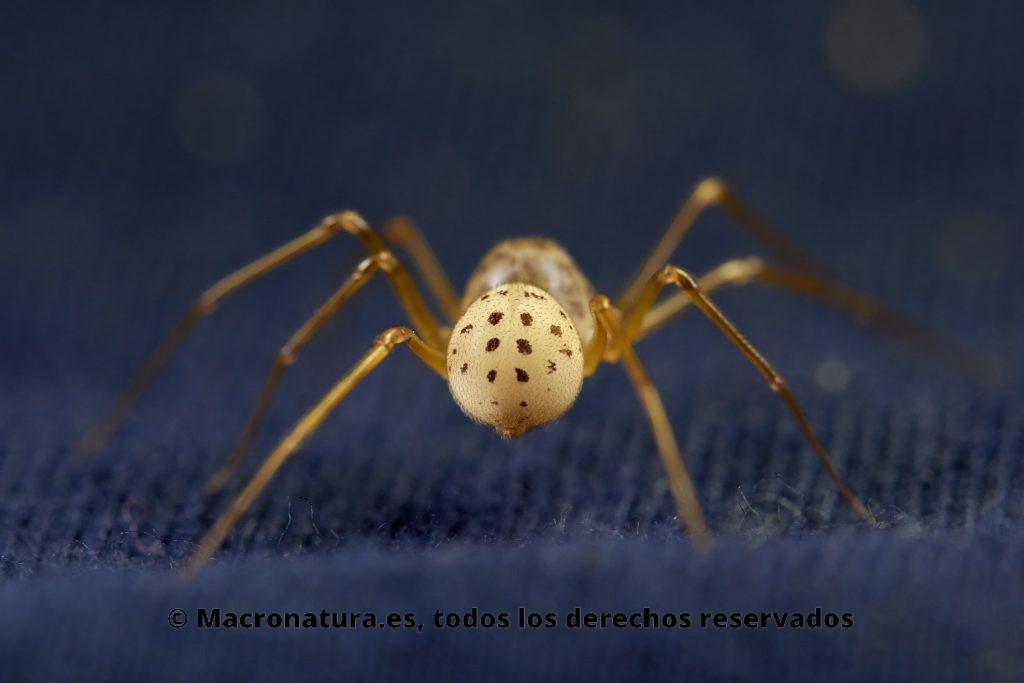 Araña escupidora Scytodes thoracica . Vista de abdomen