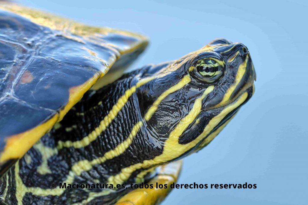 Especies muy parecidas a la Tortuga de Florida. Pseudemys concinna en el agua. Detalle de ojos y cabeza