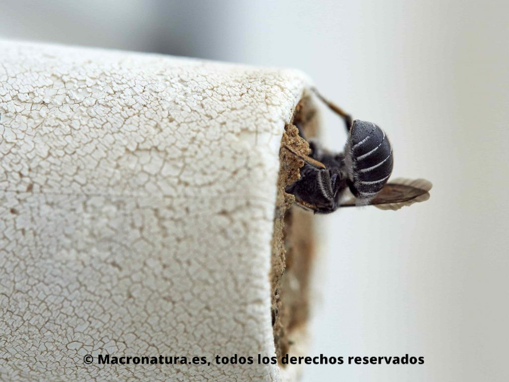 Abeja género Hoplitis construyendo el nido sobre el soporte de una ventana. Abeja género Hoplitis #yohagofotosencasa