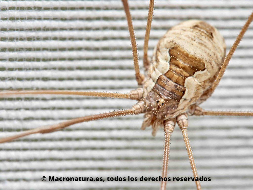 Primer plano de una Araña Patona Opilión Metaphalangium cirtanum.