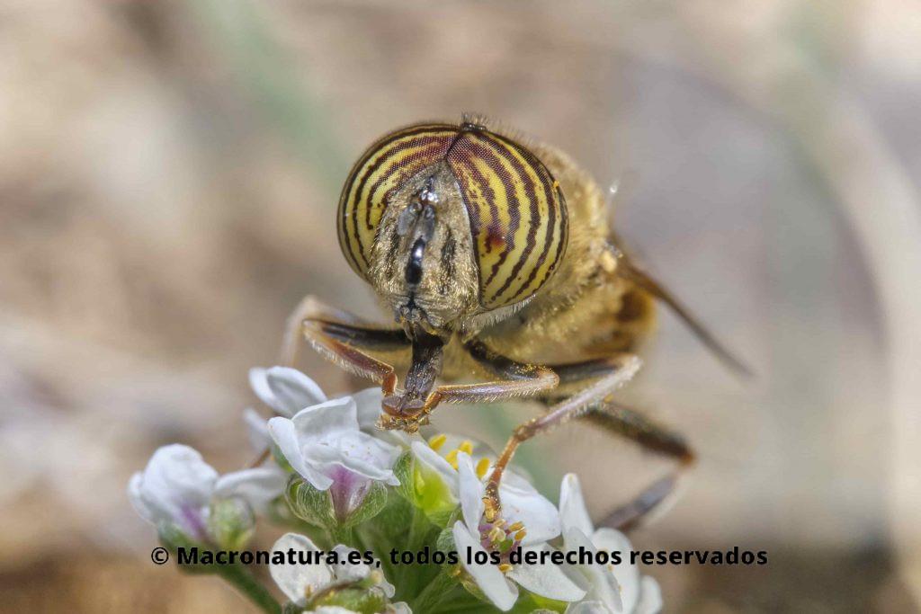 Moscas de las flores Eristalinus. Mosca Eristalinus taeniops sobre una flor.