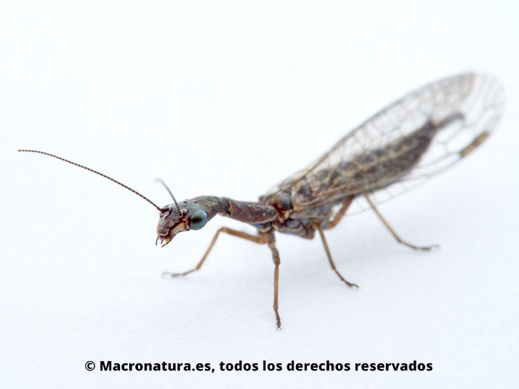 Detalle de Mosca serpiente Harraphidia laufferi lateral, se observa ojos, antenas y mandíbulas.