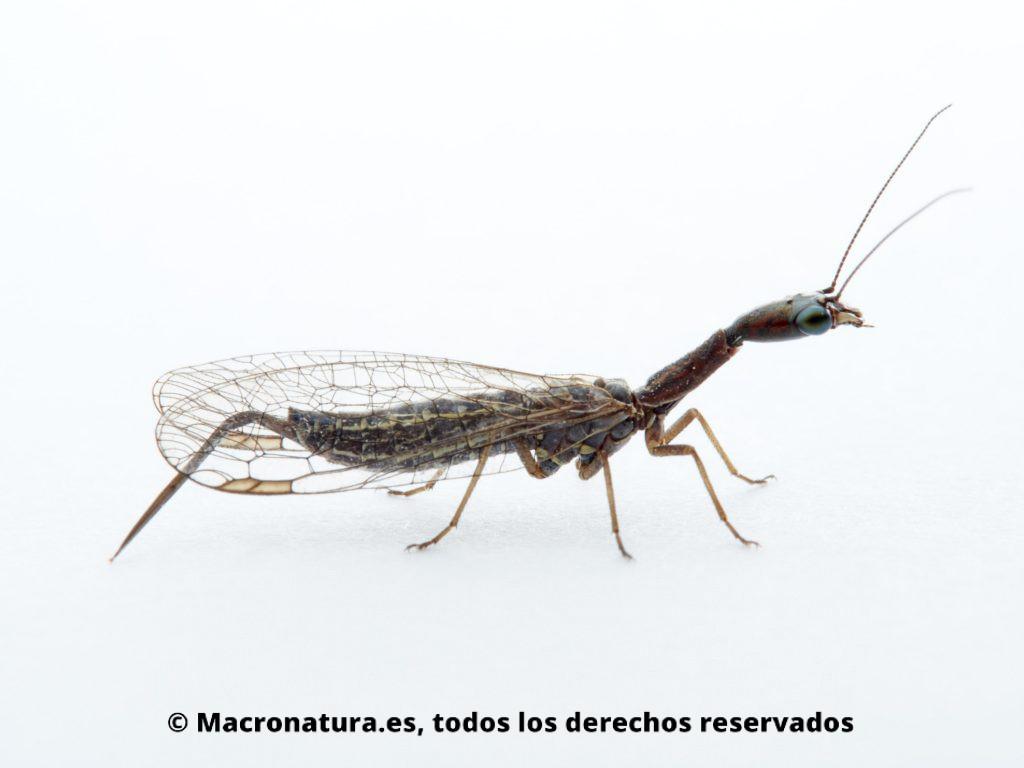 Detalle de Mosca serpiente Harraphidia laufferi lateral, se observa ojos, alas, ovopositor, antenas y mandíbulas.