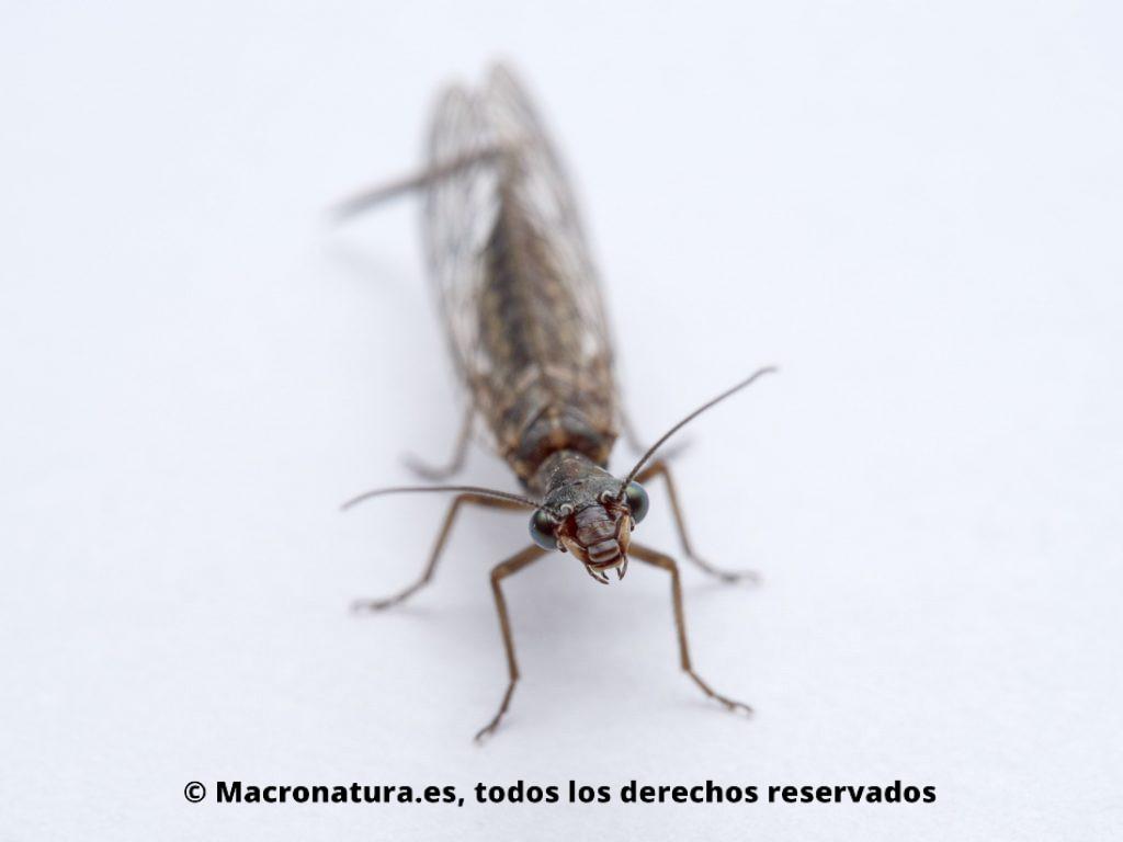 Detalle de Mosca serpiente Harraphidia laufferi de frente, se observa ojos, antenas y mandíbulas.