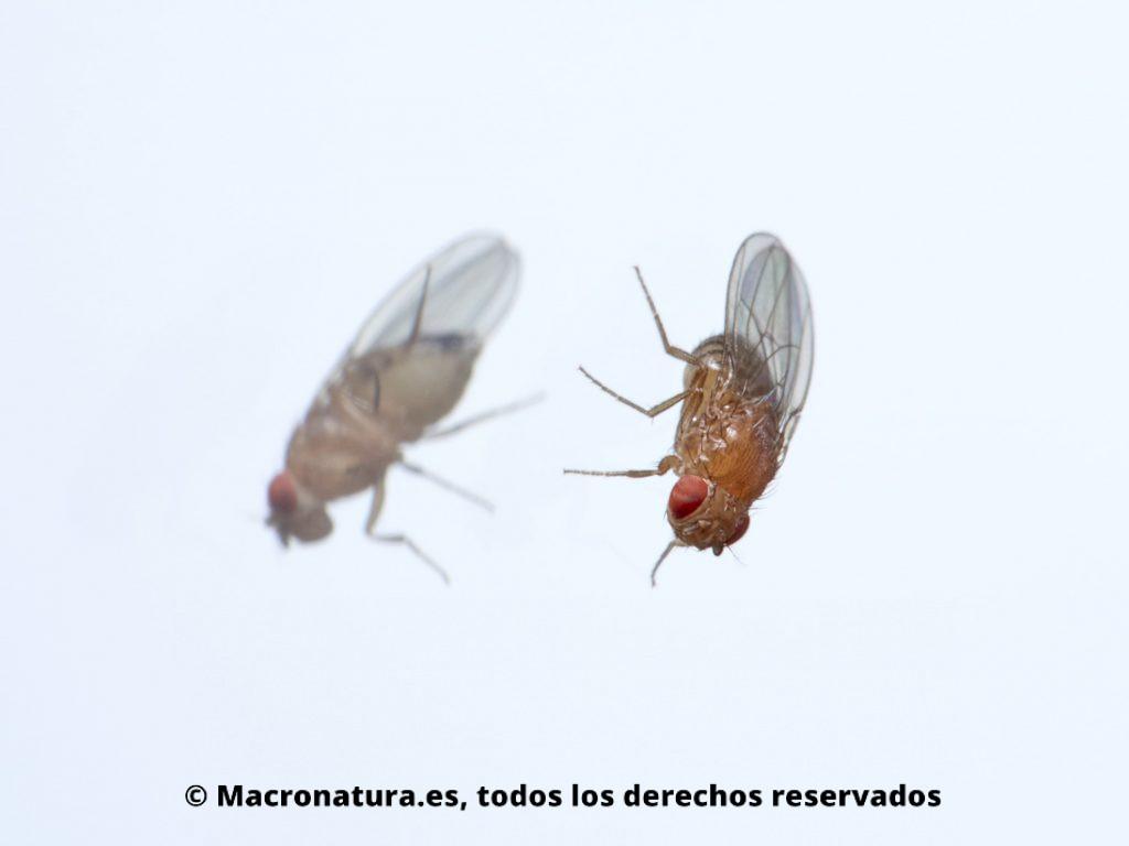 Una Mosca del vinagre Drosophila melanogaster y su reflejo en un fondo blanco