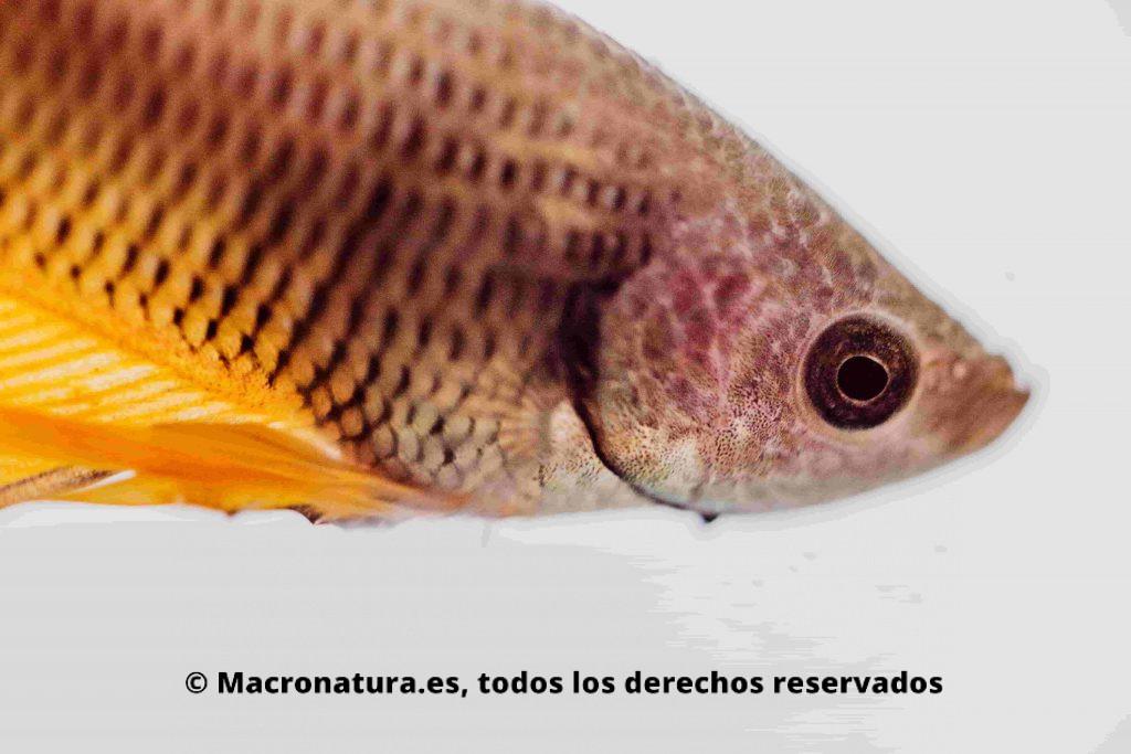 Cabeza de un pez betta de tonalidad amarilla