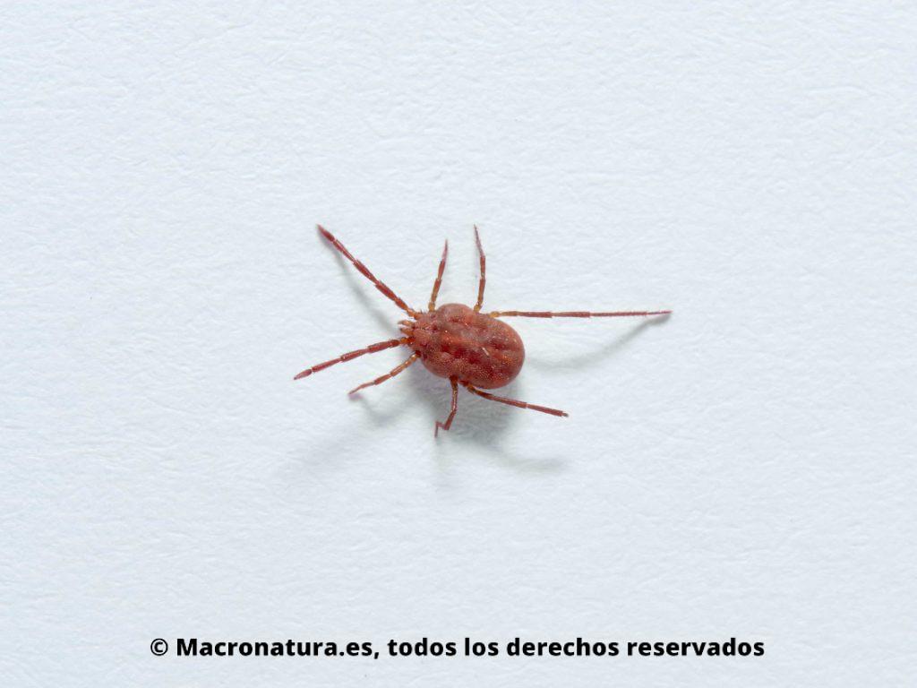 Ácaros rojos Balaustium Sp. sobre una superficie blanca. Cuerpo rojo con patas largas. Araña roja.