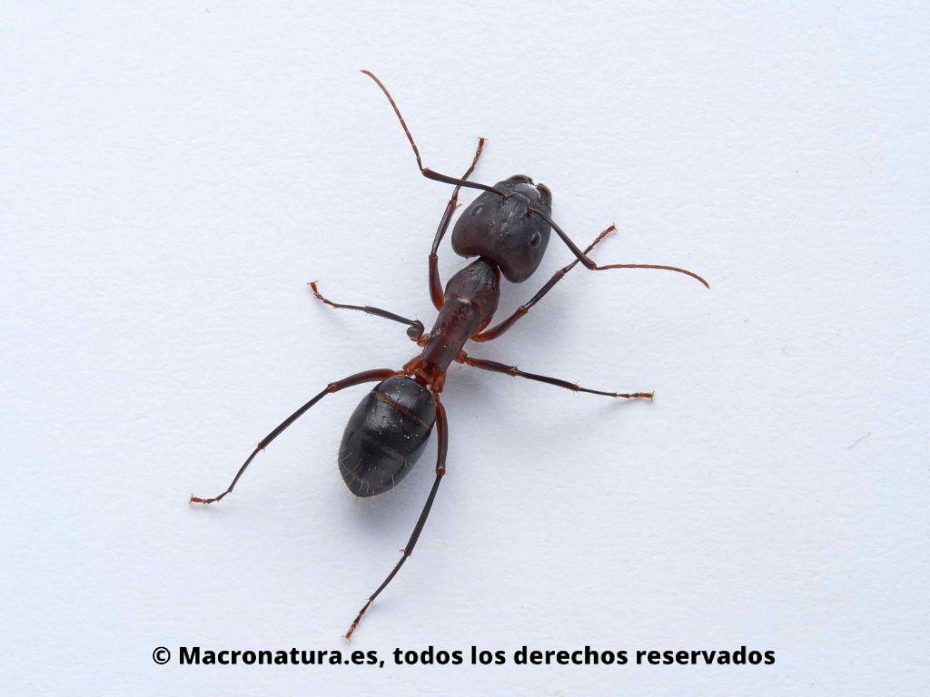 Hormiga Camponotus pilicornis sobre un fondo blanco, detalle de cuerpo, cabeza, patas, antenas