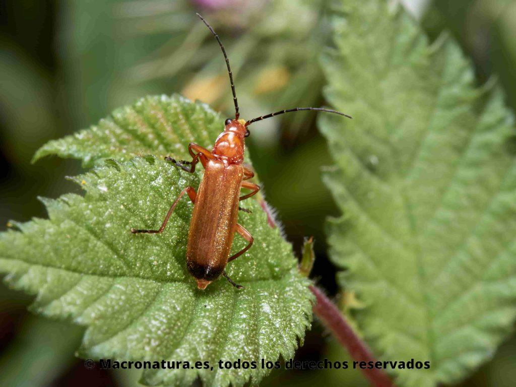 Escarabajo Coracero Rhagonycha fulva sobre una hoja. Detalle del cuerpo y punta negra al final de los élitros