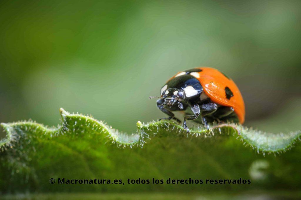 Mariquita de siete puntos Coccinella septempunctata sobre una hoja