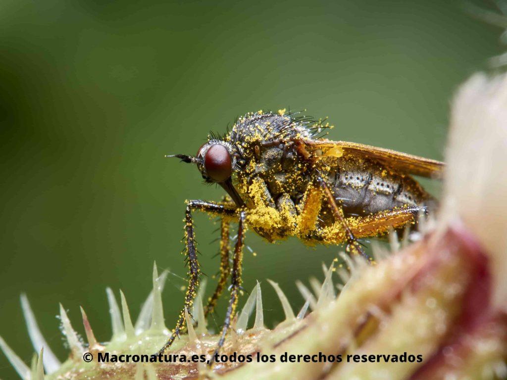 Mosca bailarina Empis opaca sobre una planta. Se observa repleta de polen
