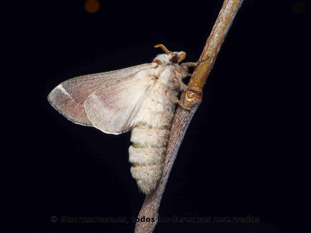 Mariposa Nocturna Streblote panda sobre una rama en un fondo oscuro. Se aprecia todo el cuerpo.