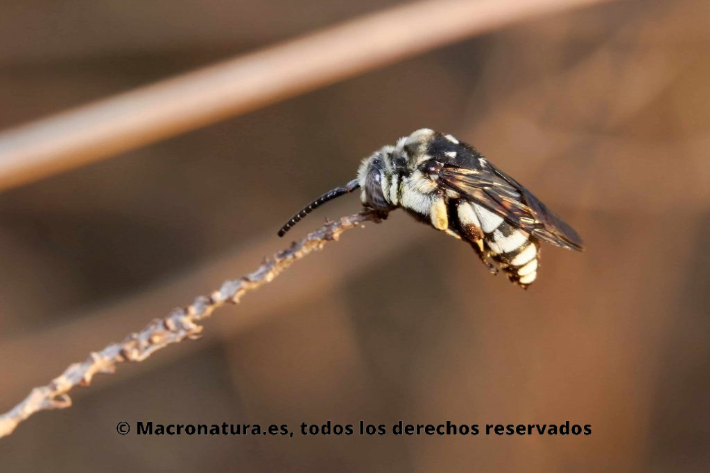¿Los insectos duermen? Abeja pasarán la noche suspendidos solo por el agarre de sus mandíbulas en una planta
