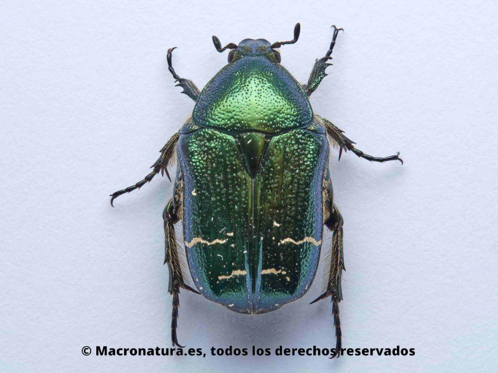 Escarabajo Verde Metálico Cetonia aurata vista cenital, patas, élitros, antenas