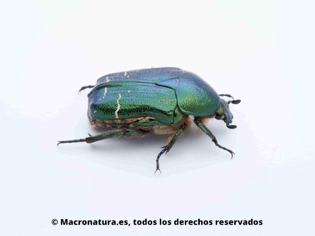 Escarabajo Verde Metálico Cetonia aurata vista lateral