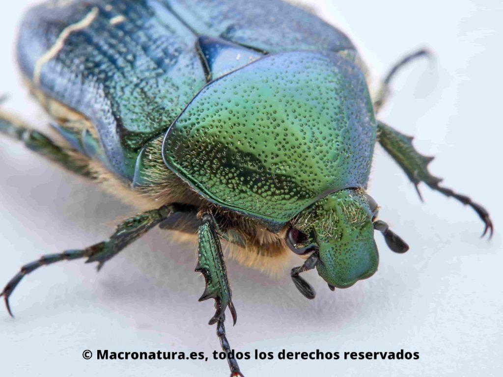 Escarabajo Verde Metálico Cetonia aurata primer plano