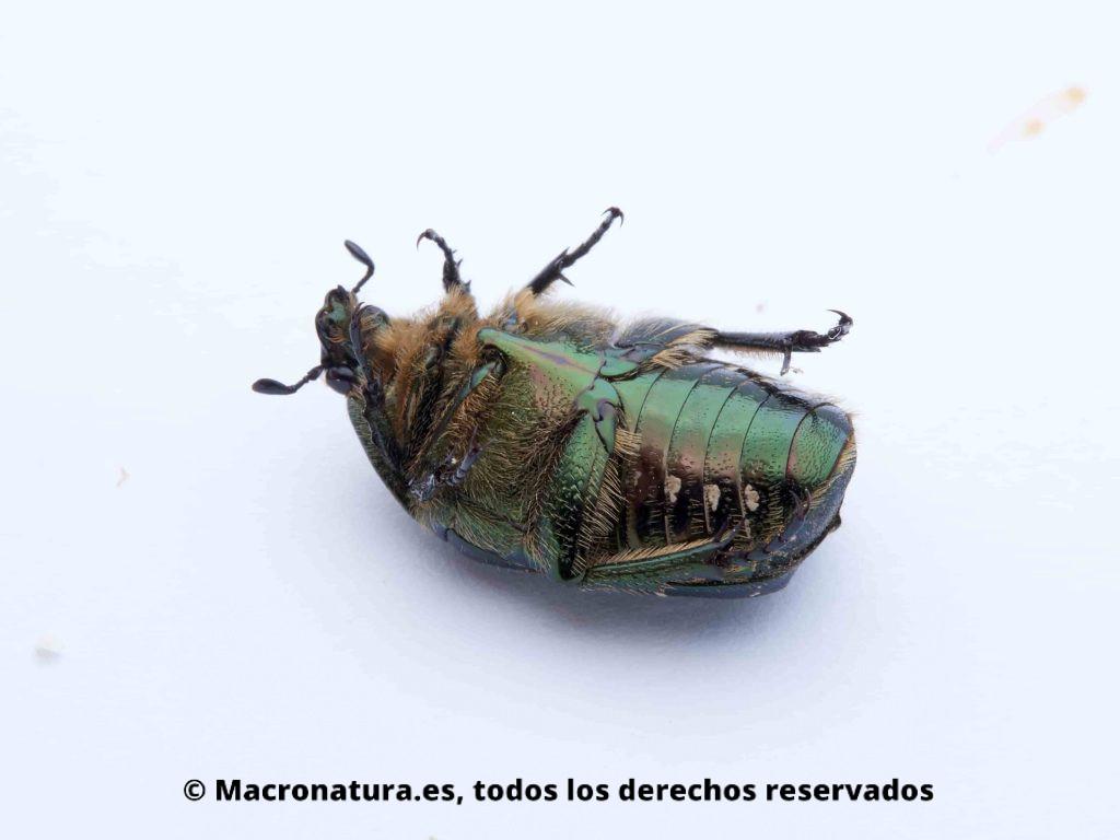 Escarabajo Verde Metálico Cetonia aurata vista ventral, colores bronces y pelos